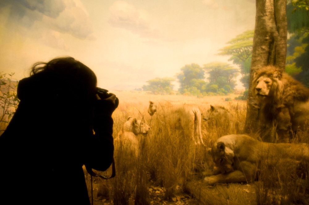 Igor and andre photo of Camille of childhood flames taking  picture of a pack of lions in africa in the American Museum of Natural History