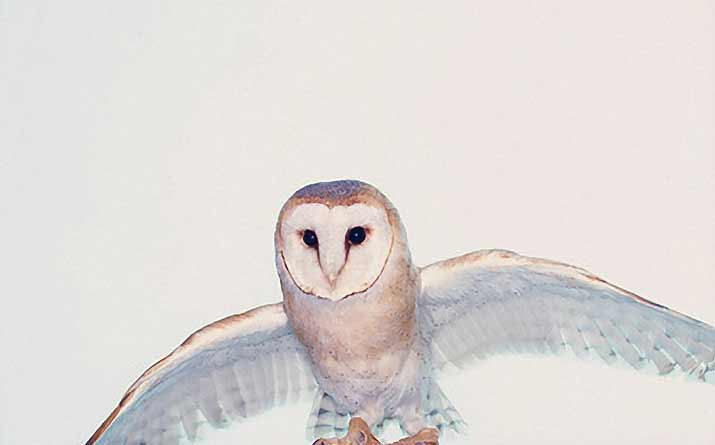 Big white blue and Orange Owl flying for igor and andre Inspiration friday